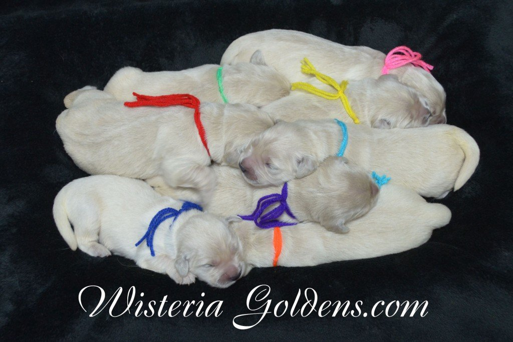The Group Sunny and Ego Litter Born 06-04-2015. 6 girls and 2 boys. English Cream Golden Retriever Puppies For Sale Information and puppy pictures WisteriaGoldens.com