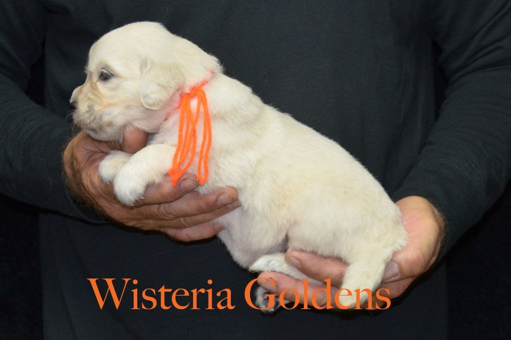 Orange Girl - 3. 6 lbs Sunny and Ego Litter Born 06-04-2015 6 girls and 2 boys. English Cream Golden Retriever Puppies For Sale Information