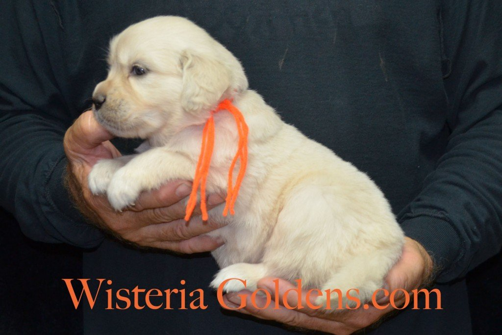 Orange Girl - 4.6 lbs 6-4-15 Sunny-Ego litter born 6-4-2015 English Cream Golden Retriever puppies for sale. 4 weeks pictures.