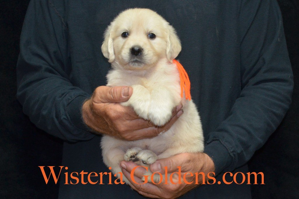 Orange Girl - 6.0 lbs 5 weeks pictures Sunny and Ego Litter born 6-4-2015 English Cream Golden Retriever puppies for sale
