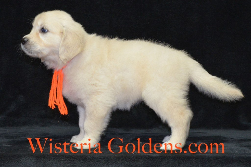 Orange Girl Sunny and Ego litter born 6-04-15 6 Weeks pictures English Cream Golden Puppies for sale