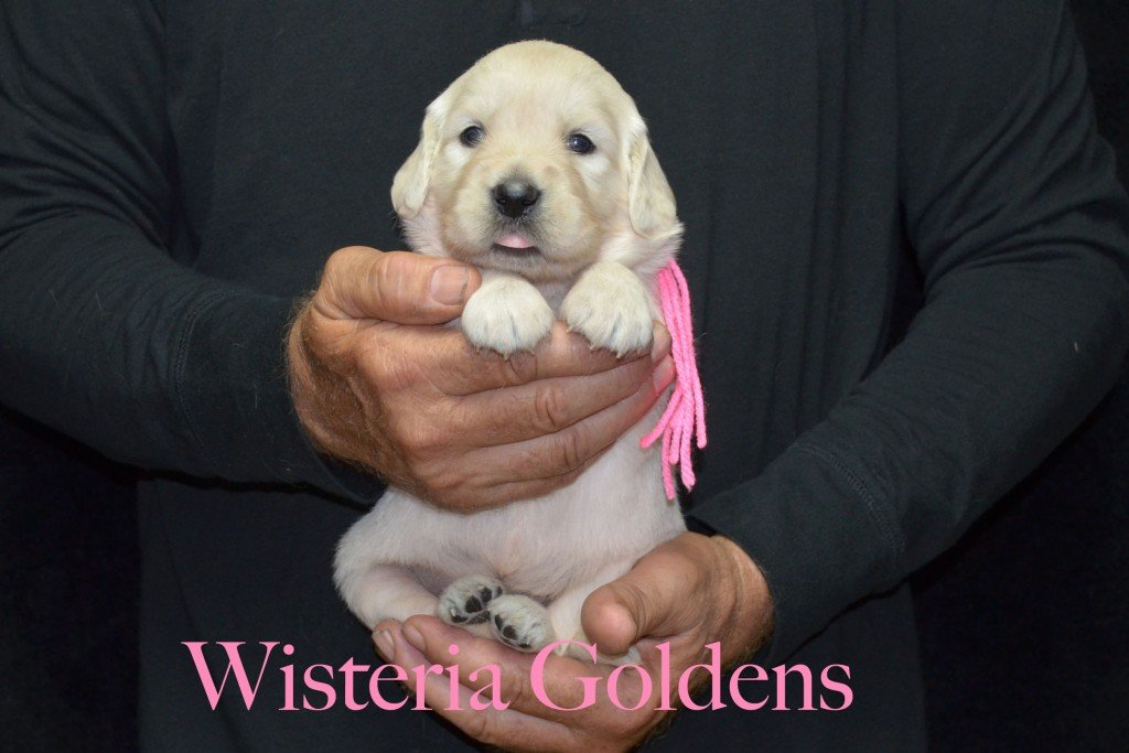 Pink Girl - 4.2 lbs Sunny and Ego Litter Born 06-04-2015 6 girls and 2 boys. English Cream Golden Retriever Puppies For Sale Information