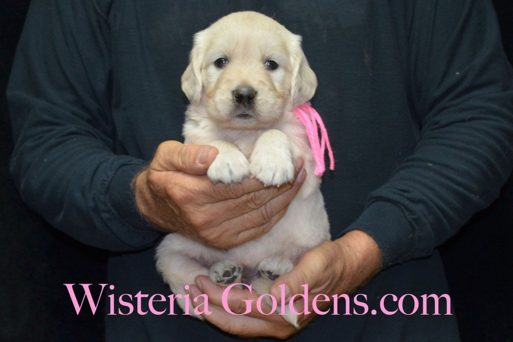 Pink Girl - 5.2 lbs 6-4-15 Sunny-Ego litter born 6-4-2015 English Cream Golden Retriever puppies for sale. 4 weeks pictures.