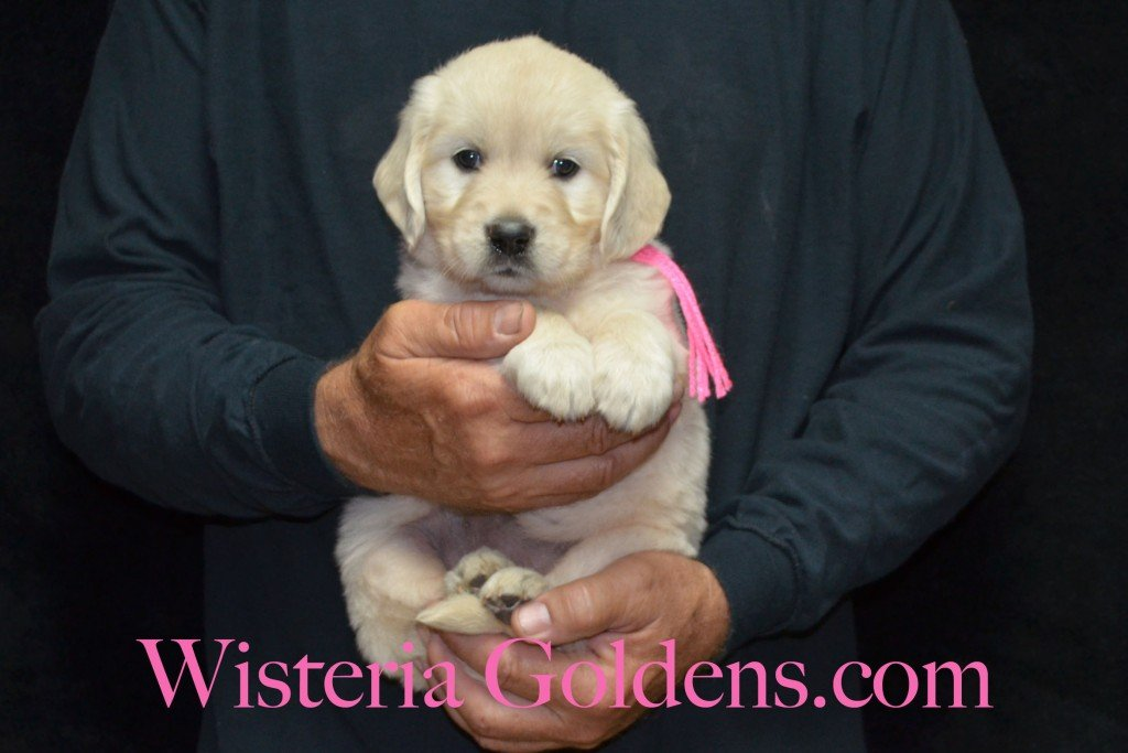 Pink Girl - 6.2 lbs 5 weeks pictures Sunny and Ego Litter born 6-4-2015 English Cream Golden Retriever puppies for sale