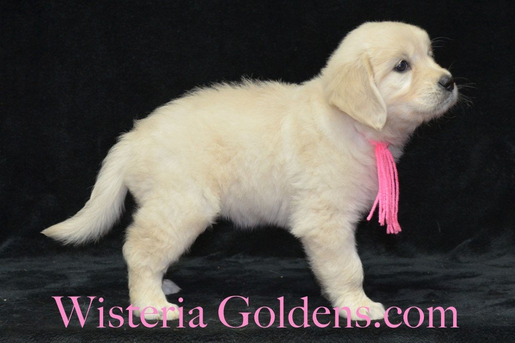 Pink Girl Sunny and Ego litter born 6-04-15 6 Weeks pictures English Cream Golden Puppies