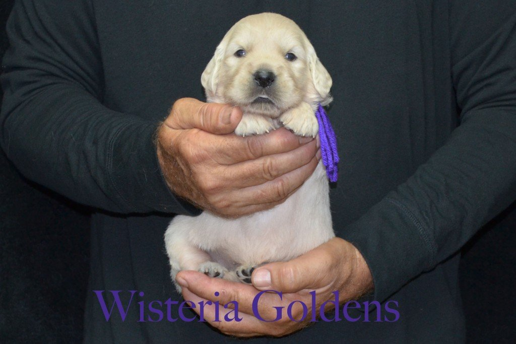 Purple Girl - 4.0 lbs Sunny and Ego Litter Born 06-04-2015 6 girls and 2 boys. English Cream Golden Retriever Puppies For Sale Information