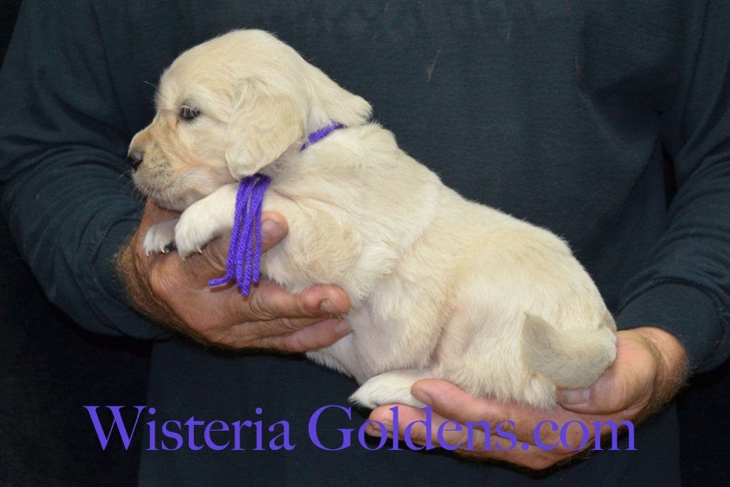 Purple Girl - 5.0 lbs 6-4-15 Sunny-Ego litter born 6-4-2015 English Cream Golden Retriever puppies for sale. 4 weeks pictures.