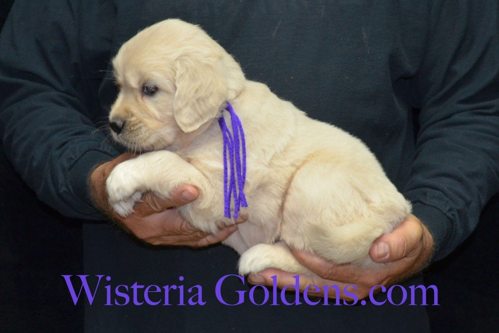 Purple Girl - 6.4 lbs 5 weeks pictures Sunny and Ego Litter born 6-4-2015 English Cream Golden Retriever puppies for sale