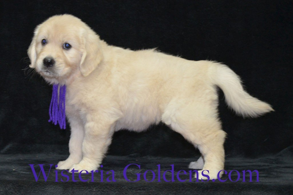 Purple Girl Sunny and Ego litter born 6-04-15 6 Weeks pictures English Cream Golden Puppies
