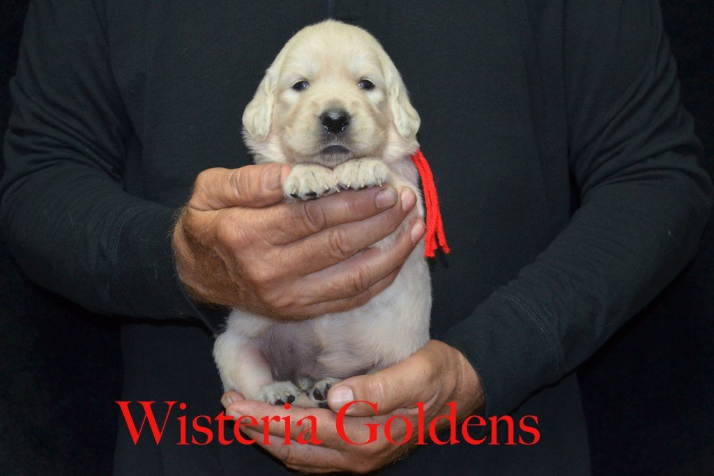 Red Boy - 4.4 lbs Sunny and Ego Litter Born 06-04-2015 6 girls and 2 boys. English Cream Golden Retriever Puppies For Sale Information