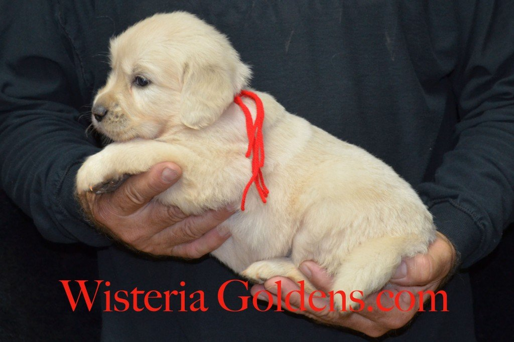 Red Boy - 5.4 lbs 6-4-15 Sunny-Ego litter born 6-4-2015 English Cream Golden Retriever puppies for sale. 4 weeks pictures.