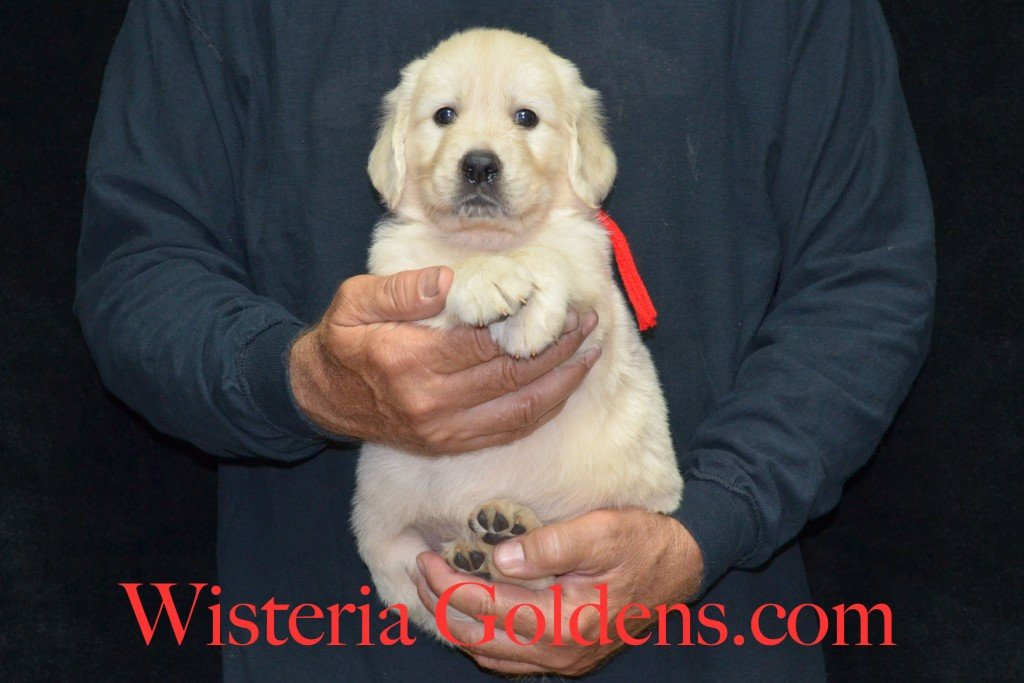 Red Boy - 7.2 lbs 5 weeks pictures Sunny and Ego Litter born 6-4-2015 English Cream Golden Retriever puppies for sale