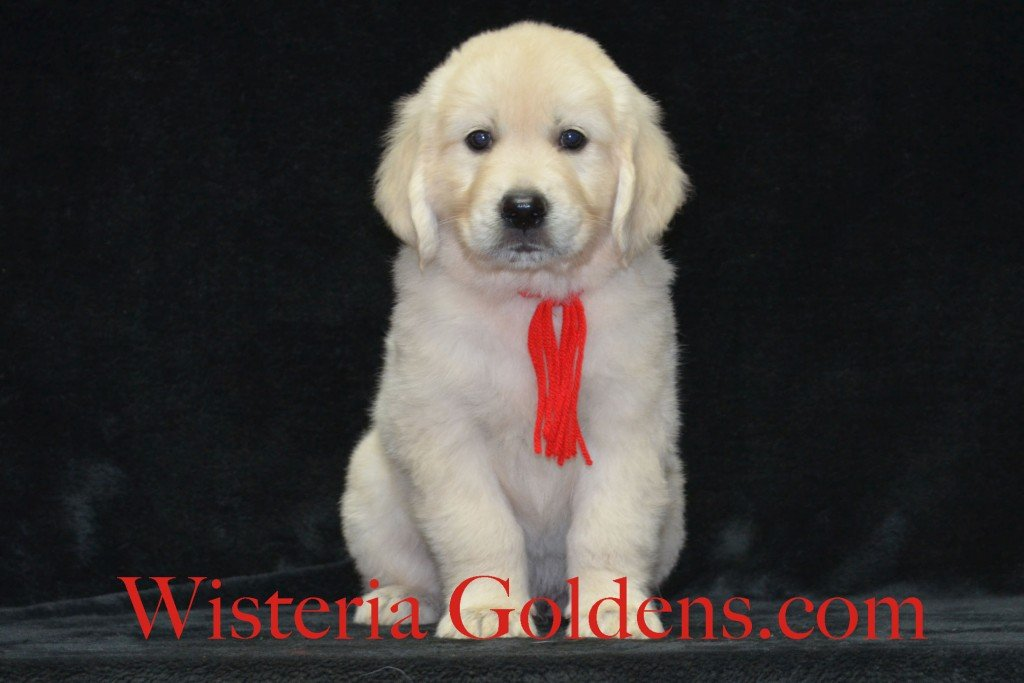 Red Boy Sunny and Ego litter born 6-04-15 6 Weeks pictures English Cream Golden Puppies