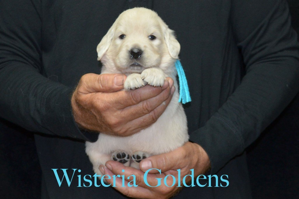 Teal Girl - 4.6 lbs Sunny and Ego Litter Born 06-04-2015 6 girls and 2 boys. English Cream Golden Retriever Puppies For Sale Information