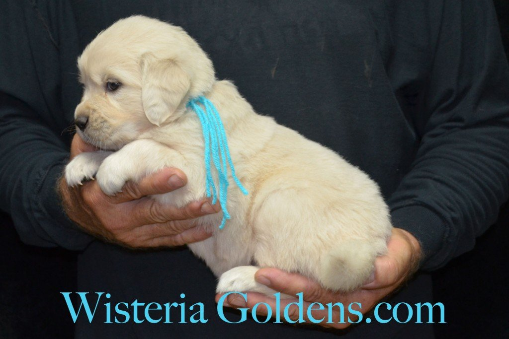 Teal Girl - 5.2 lbs 6-4-15 Sunny-Ego litter born 6-4-2015 English Cream Golden Retriever puppies for sale. 4 weeks pictures.
