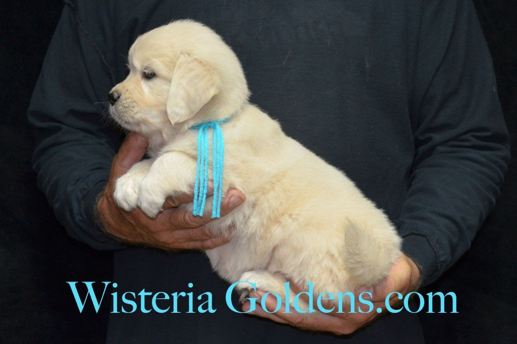 Teal Girl - 6.0 lbs 5 weeks pictures Sunny and Ego Litter born 6-4-2015 English Cream Golden Retriever puppies for sale