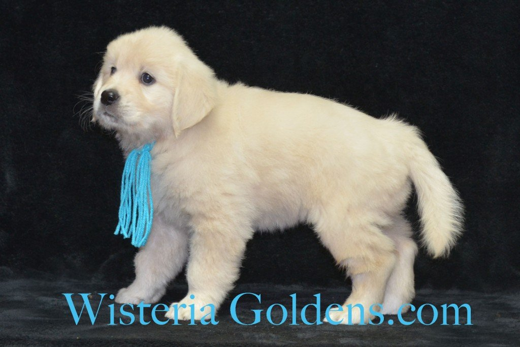 Teal Girl Sunny and Ego litter born 6-04-15 6 Weeks pictures English Cream Golden Puppies