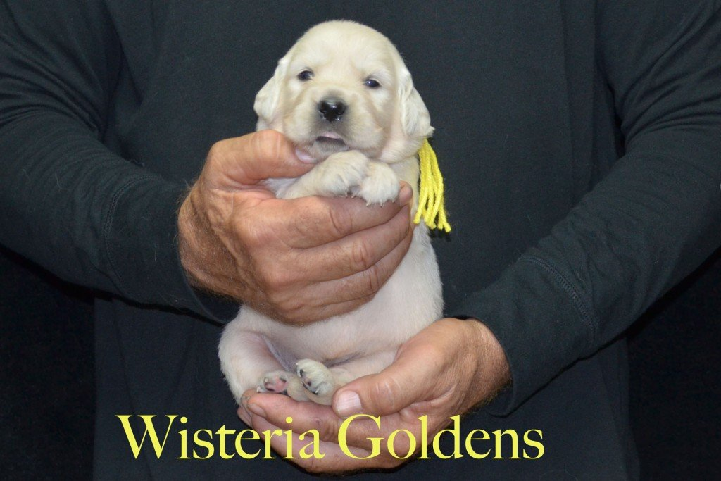 Yellow Girl - 3.6 lbs Sunny and Ego Litter Born 06-04-2015 6 girls and 2 boys. English Cream Golden Retriever Puppies For Sale Information