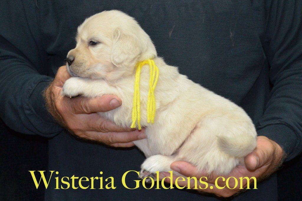 Yellow Girl - 4.6 lbs 6-4-15 Sunny-Ego litter born 6-4-2015 English Cream Golden Retriever puppies for sale. 4 weeks pictures.