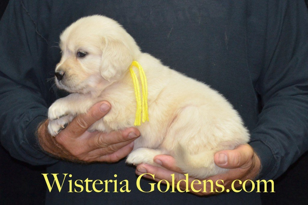 Yellow Girl - 6.0 lbs 5 weeks pictures Sunny and Ego Litter born 6-4-2015 English Cream Golden Retriever puppies for sale