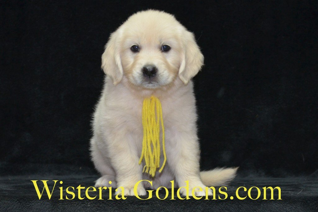 Yellow Girl Sunny and Ego litter born 6-04-15 6 Weeks pictures English Cream Golden Puppies