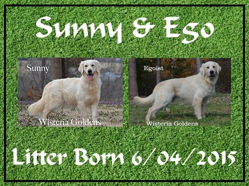 Sunny and Ego litter born 6-04-2015