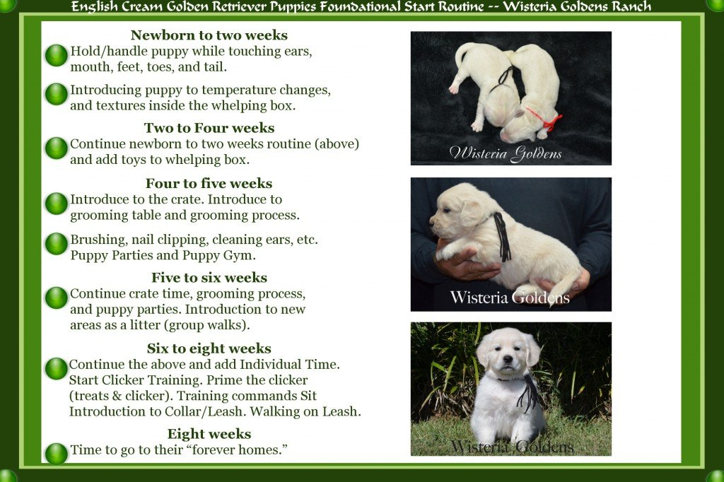 English Cream Golden Retriever Puppies Foundational Start Routin Wisteria Goldens Ranch Newborn to eight weeks training and socialization schedule.