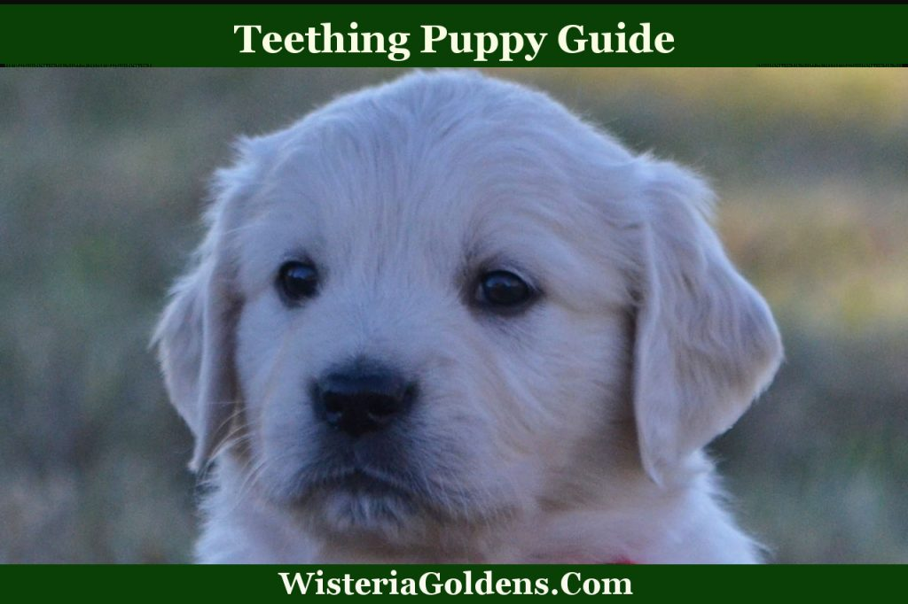 teething puppy