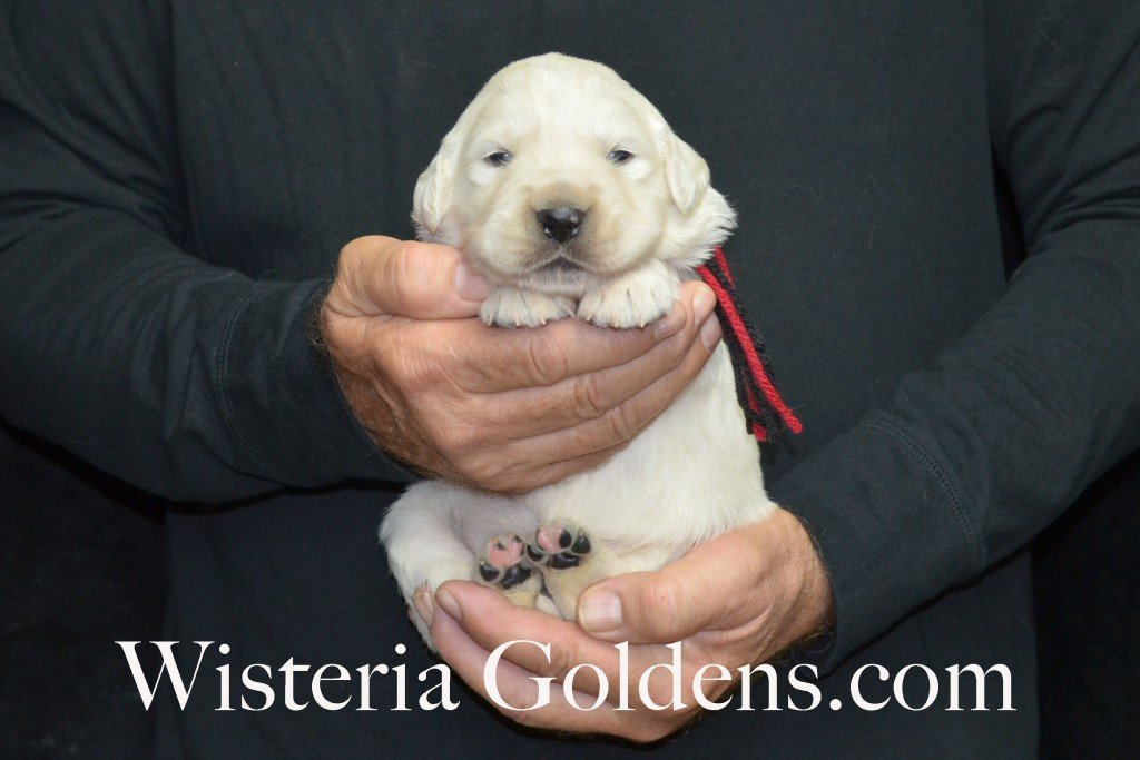 Aria Litter Black Boy 4.0 lbs. Aria-Thor Litter born 10-24-2015 English Cream Golden Retriever Puppies for sale WisteriaGoldens.com