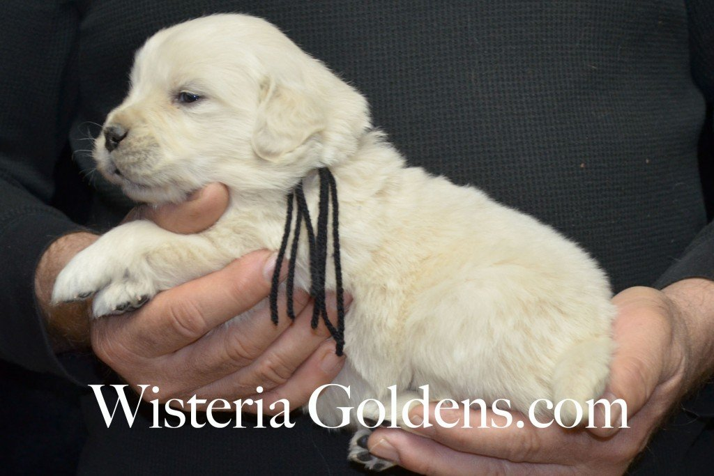 Black Boy - 3.4 lbs Aria litter 3 wks pictures english cream golden retriever puppies for sale wisteria ranch