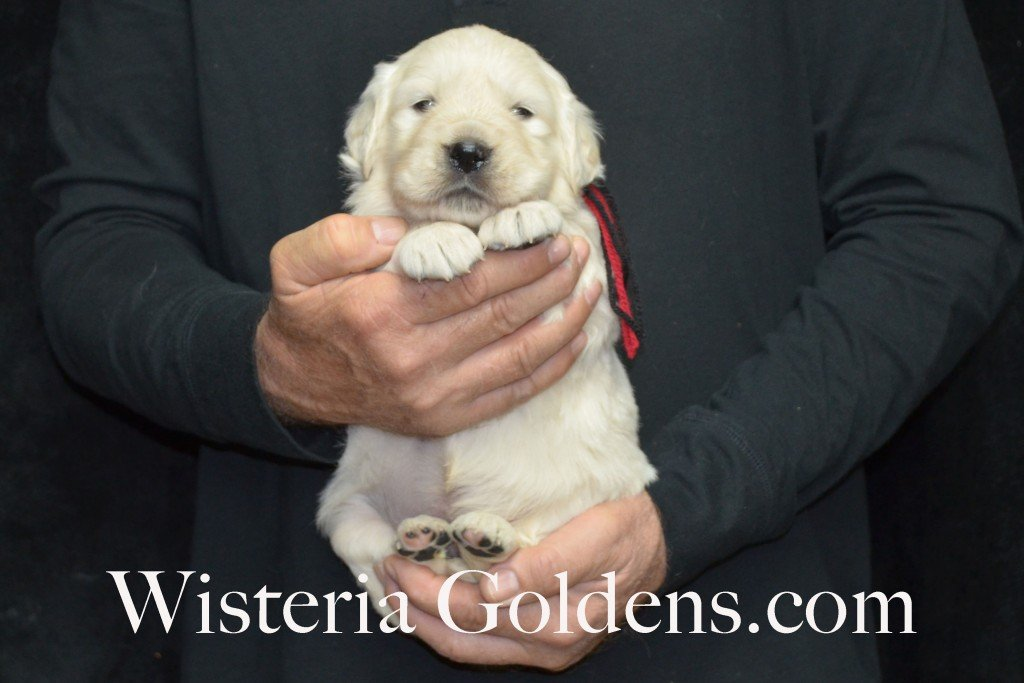 Aria Litter 4 weeks pictures Black Boy - 5.6 lbs Aria/Thor Litter Born 10-24-2015 See wisteriagoldens.com home page or Available Puppies page for most recent published availability updates.