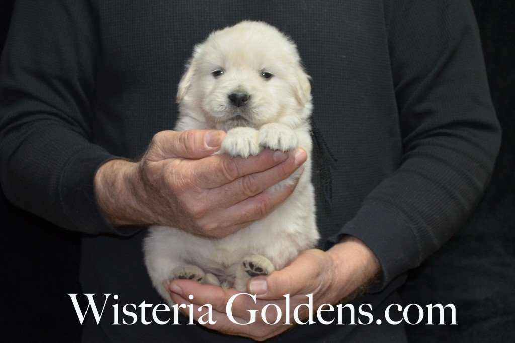 Black Boy - 4.2 lbs Aria Litter 4 weeks pictures English Cream Golden Retriever Puppies For Sale at Wisteria Goldens Ranch. Aria Litter. Aria and Ego litter Born January 25 2015. http://wisteriagoldens.com/available-puppies/english-cream-golden-retriever-puppies-for-sale-aria-litter/ #englishcreamgoldenretrieverpuppies #puppiesforsale