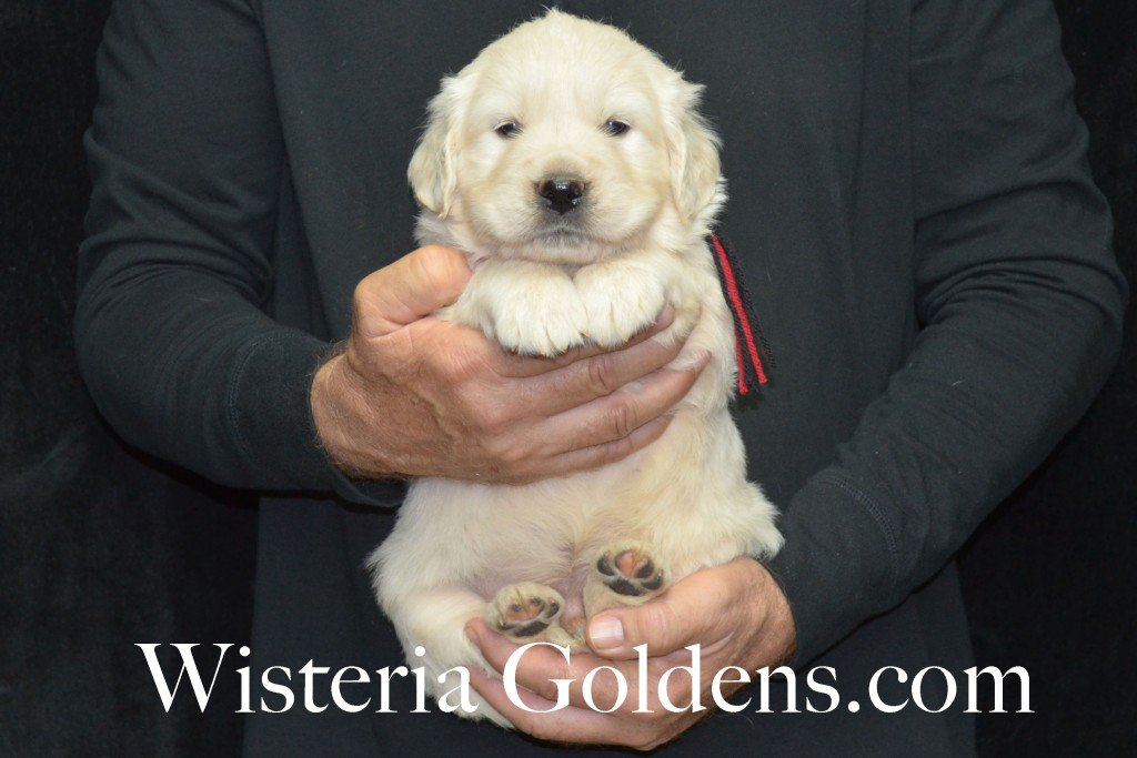 Aria Litter 5 Weeks Black Boy - 7.4 lbs Wisteria Goldens focuses on raising quality and healthy English Golden Retrievers.