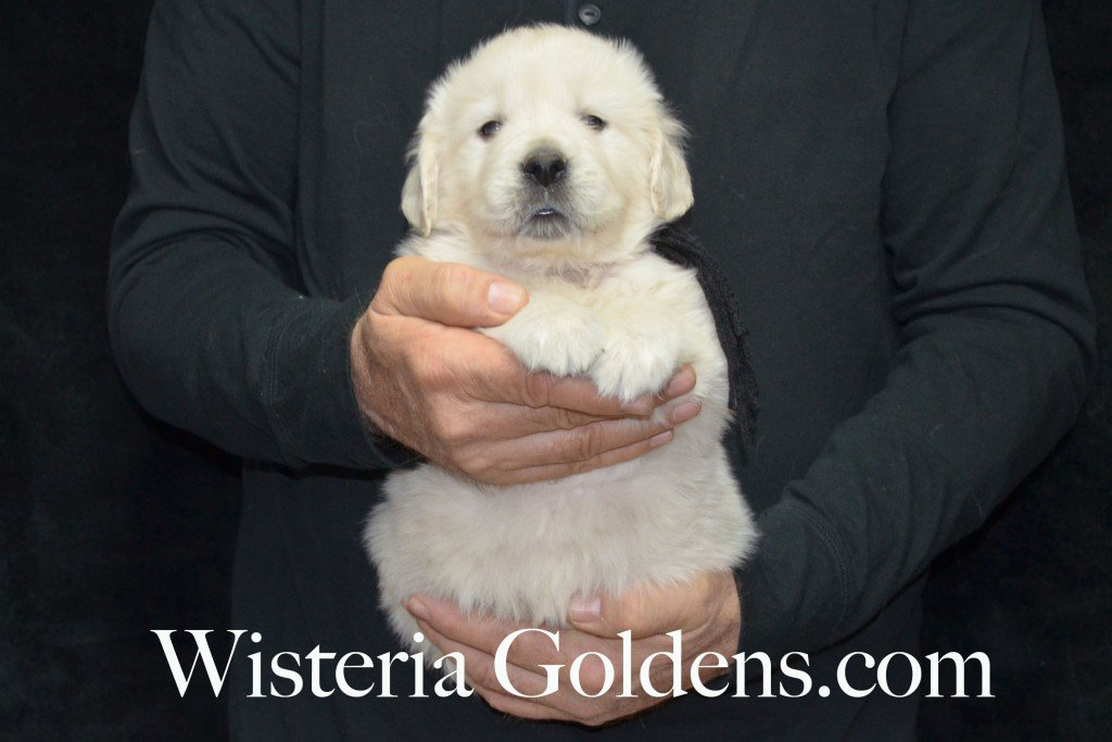 Black Boy - 6.0 lbs 5 weeks pictures Aria and Ego Litter Born 01/25/2015 4 girls and 4 boys.  English Cream golden Retriever puppies for sale