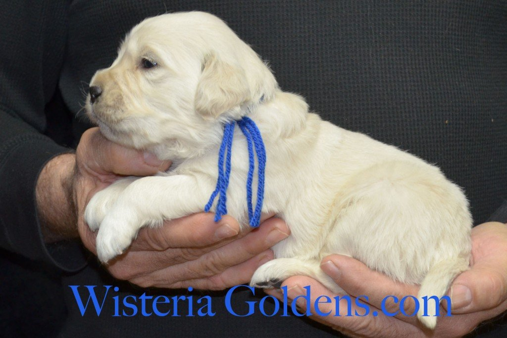 Blue Boy - 3.6 lbs Aria litter 3 wks pictures english cream golden retriever puppies for sale wisteria ranch