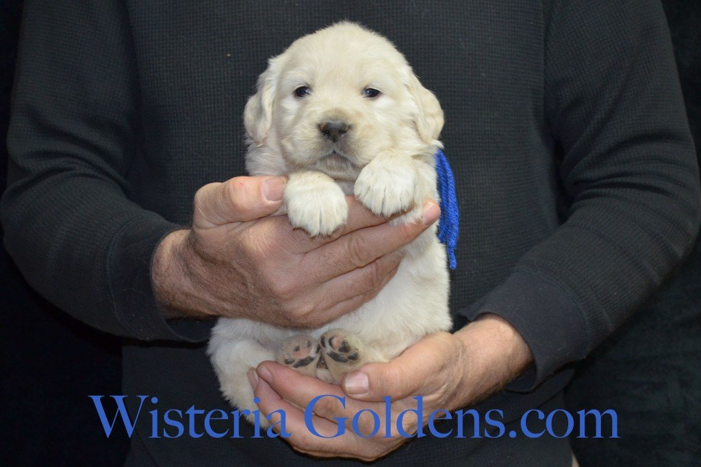 Blue Boy - 4.8 lbs Aria Litter 4 weeks pictures English Cream Golden Retriever Puppies For Sale at Wisteria Goldens Ranch. Aria Litter. Aria and Ego litter Born January 25 2015. http://wisteriagoldens.com/available-puppies/english-cream-golden-retriever-puppies-for-sale-aria-litter/ #englishcreamgoldenretrieverpuppies #puppiesforsale