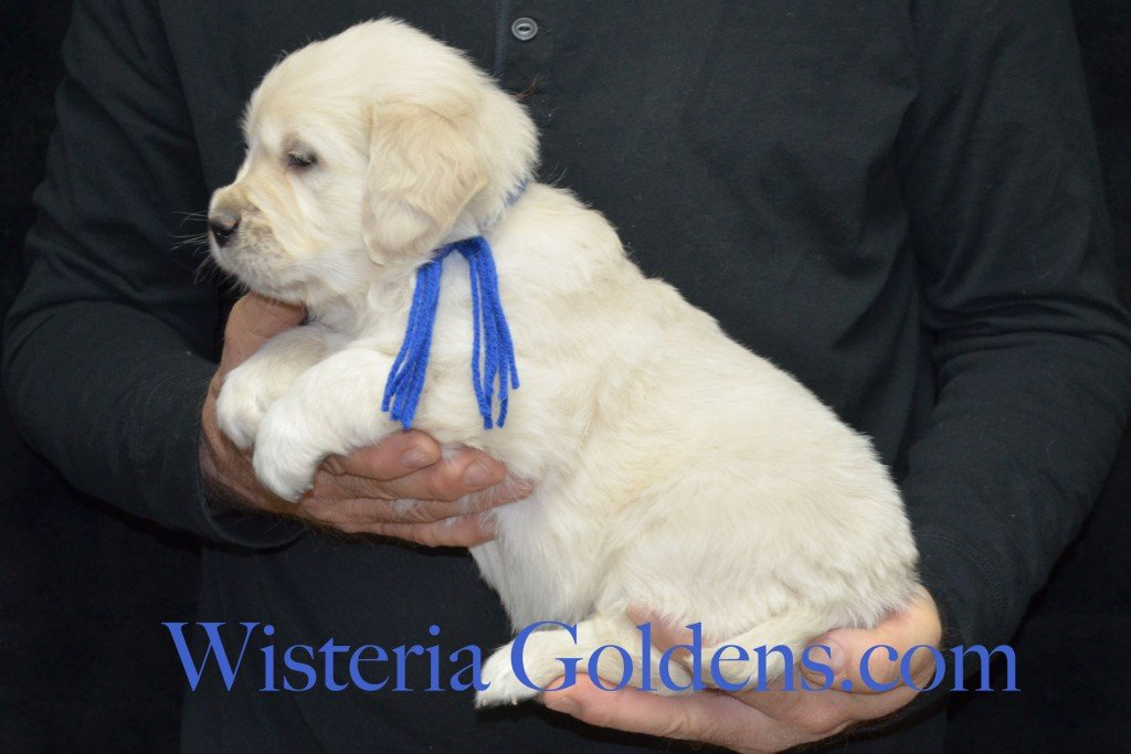 Blue Boy 7.0 lbs 5 weeks pictures Aria and Ego Litter Born 01/25/2015 4 girls and 4 boys.  English Cream golden Retriever puppies for sale