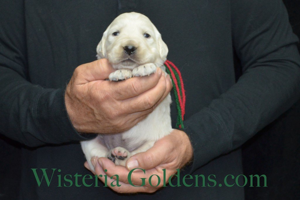 Aria Litter Green Boy 4.0 lbs. Aria-Thor Litter born 10-24-2015 English Cream Golden Retriever Puppies for sale WisteriaGoldens.com