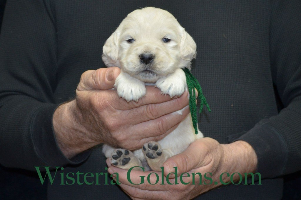 Green Boy - 3.2 lbs Aria litter 3 wks pictures english cream golden retriever puppies for sale wisteria ranch