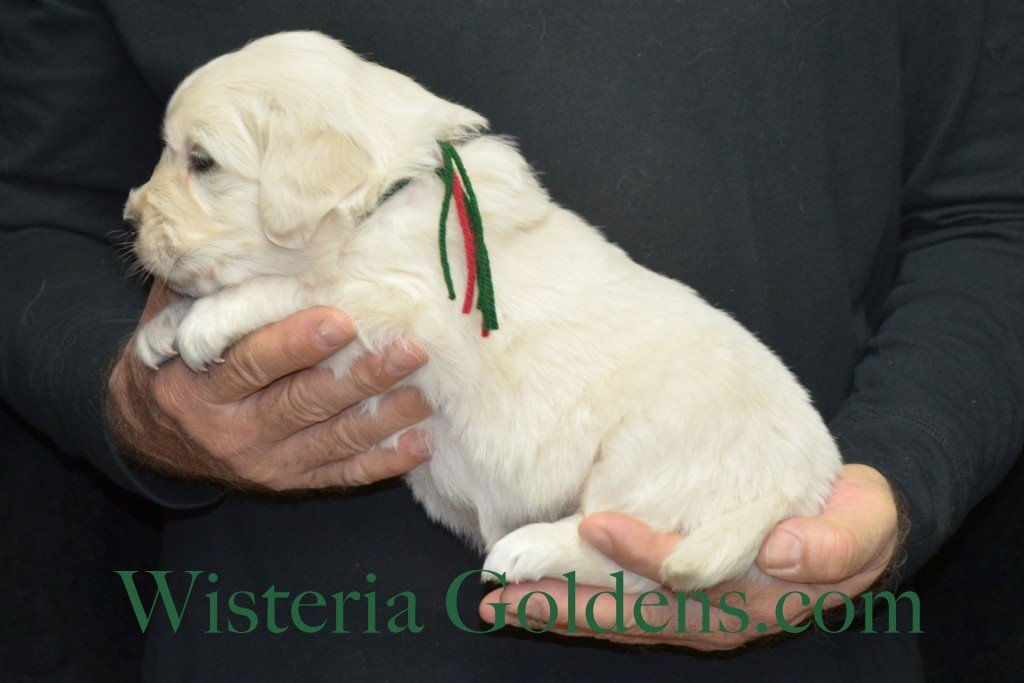 Aria Litter 4 weeks pictures Green Boy 5.6 lbs Aria/Thor Litter Born 10-24-2015 See wisteriagoldens.com home page or Available Puppies page for most recent published availability updates.