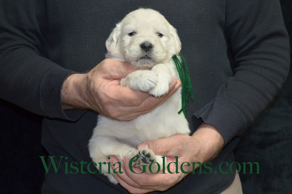 Green Boy - 4.0 lbs Aria Litter 4 weeks pictures English Cream Golden Retriever Puppies For Sale at Wisteria Goldens Ranch. Aria Litter. Aria and Ego litter Born January 25 2015. http://wisteriagoldens.com/available-puppies/english-cream-golden-retriever-puppies-for-sale-aria-litter/ #englishcreamgoldenretrieverpuppies #puppiesforsale