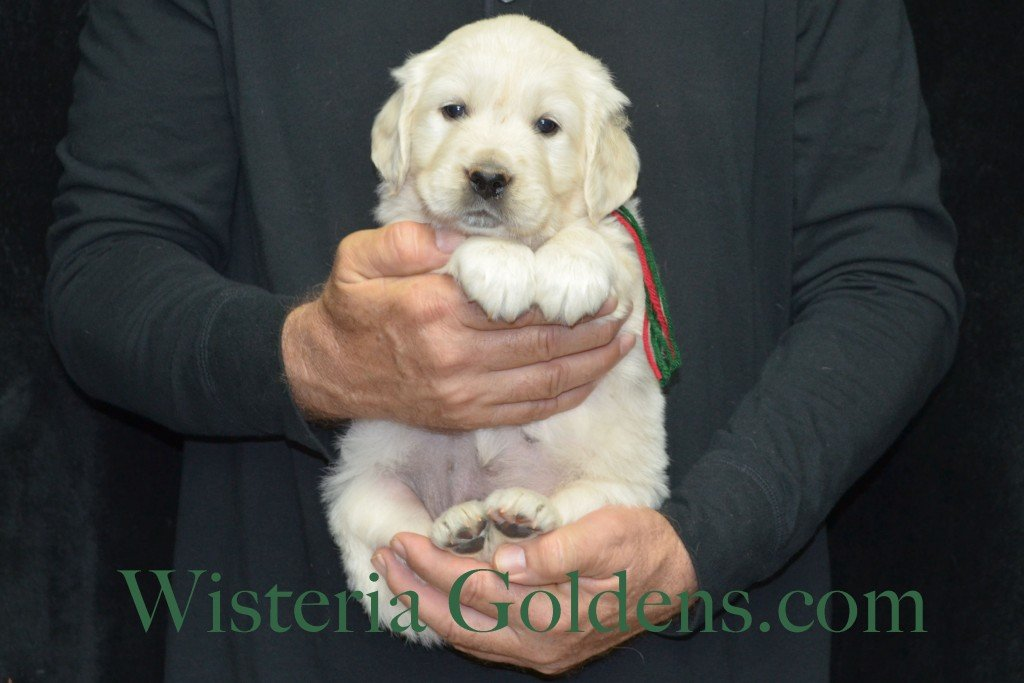 Aria Litter 5 Weeks Green Boy - 7.4 lbs Wisteria Goldens focuses on raising quality and healthy English Golden Retrievers.