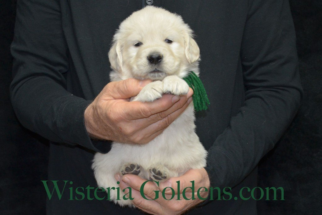 Green Boy - 5.8 lbs 5 weeks pictures Aria and Ego Litter Born 01/25/2015 4 girls and 4 boys.  English Cream golden Retriever puppies for sale