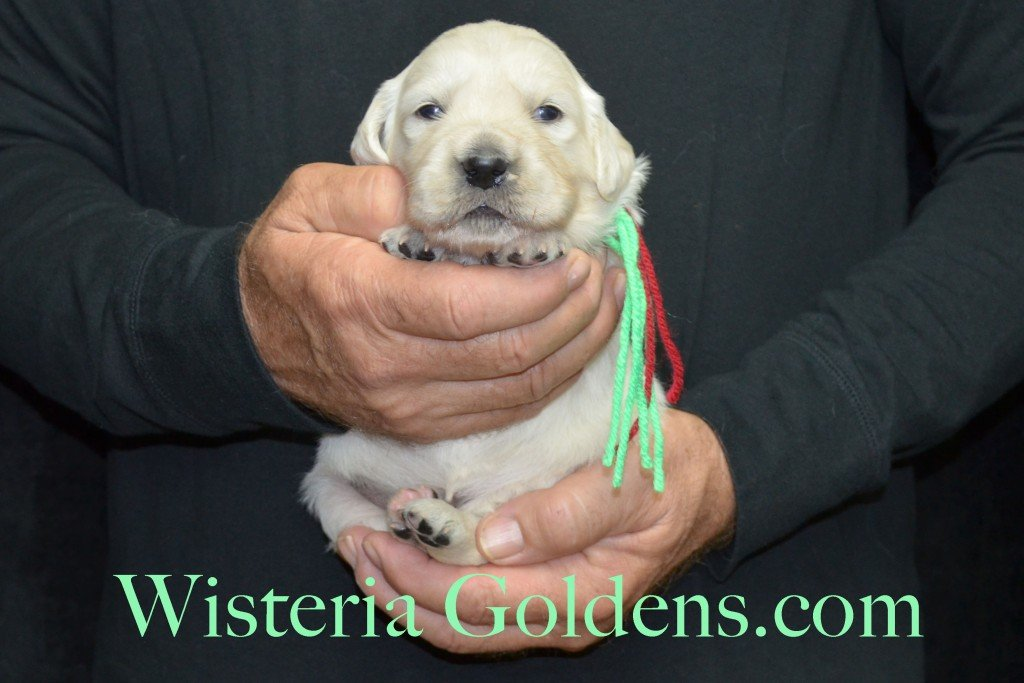 Aria Litter Lime Girl 3.8 lbs. Aria-Thor Litter born 10-24-2015 English Cream Golden Retriever Puppies for sale WisteriaGoldens.com