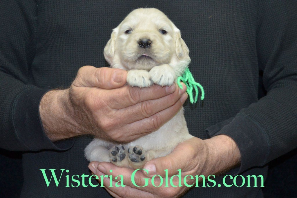 Lime Girl - 3.2 lbs Aria litter 3 wks pictures english cream golden retriever puppies for sale wisteria ranch