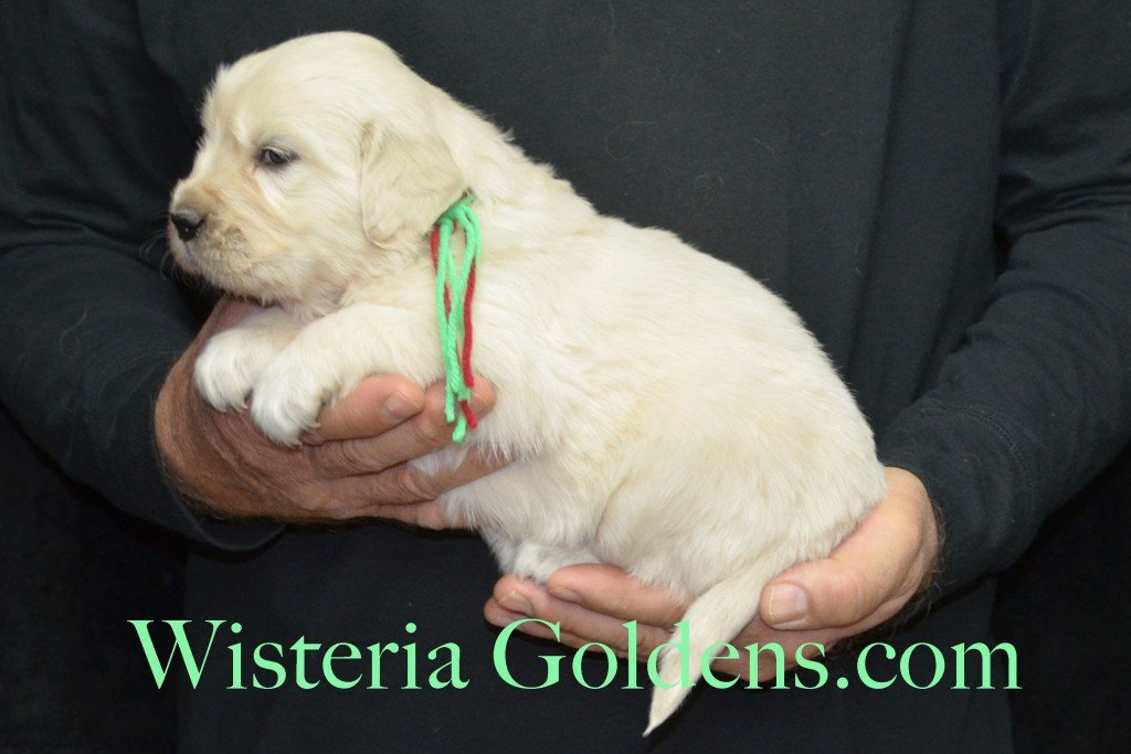 Aria Litter 4 weeks pictures Lime Girl - 5.2 lbs Aria/Thor Litter Born 10-24-2015 See wisteriagoldens.com home page or Available Puppies page for most recent published availability updates.