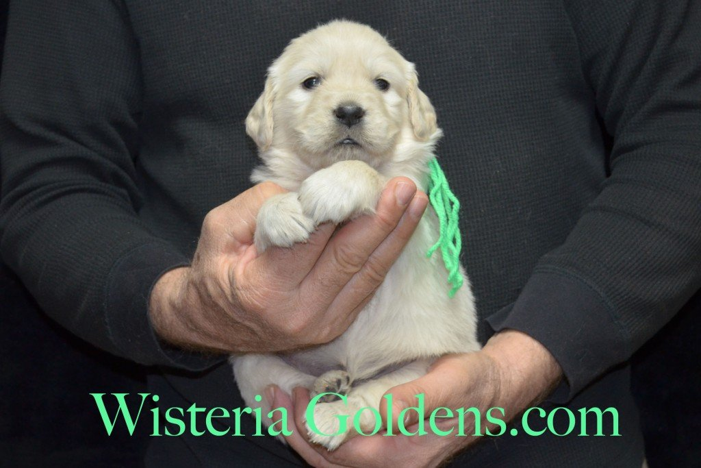 Lime Girl - 4.4 lbs Aria Litter 4 weeks pictures English Cream Golden Retriever Puppies For Sale at Wisteria Goldens Ranch. Aria Litter. Aria and Ego litter Born January 25 2015. http://wisteriagoldens.com/available-puppies/english-cream-golden-retriever-puppies-for-sale-aria-litter/ #englishcreamgoldenretrieverpuppies #puppiesforsale