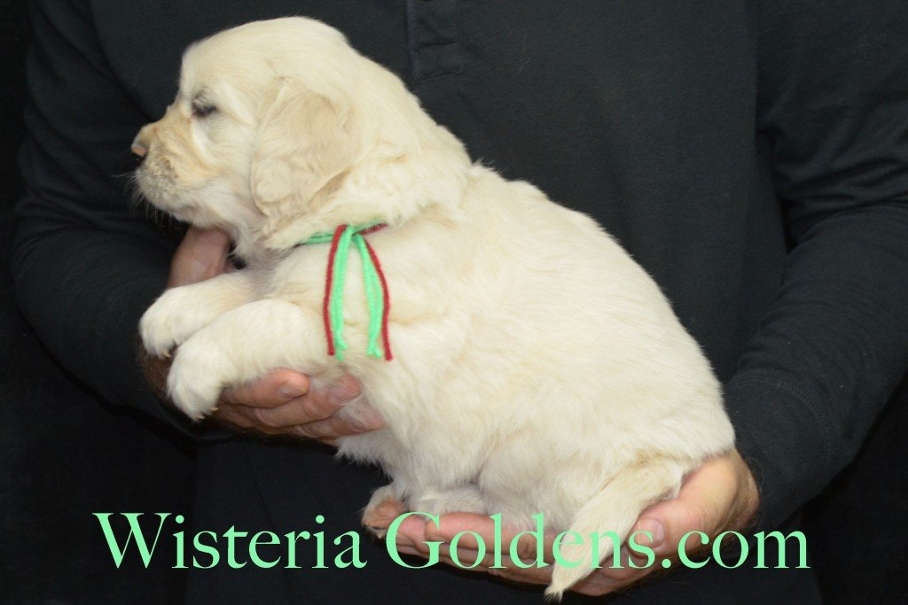 Aria Litter 5 Weeks Lime Girl - 7.4 lbs Wisteria Goldens focuses on raising quality and healthy English Golden Retrievers.