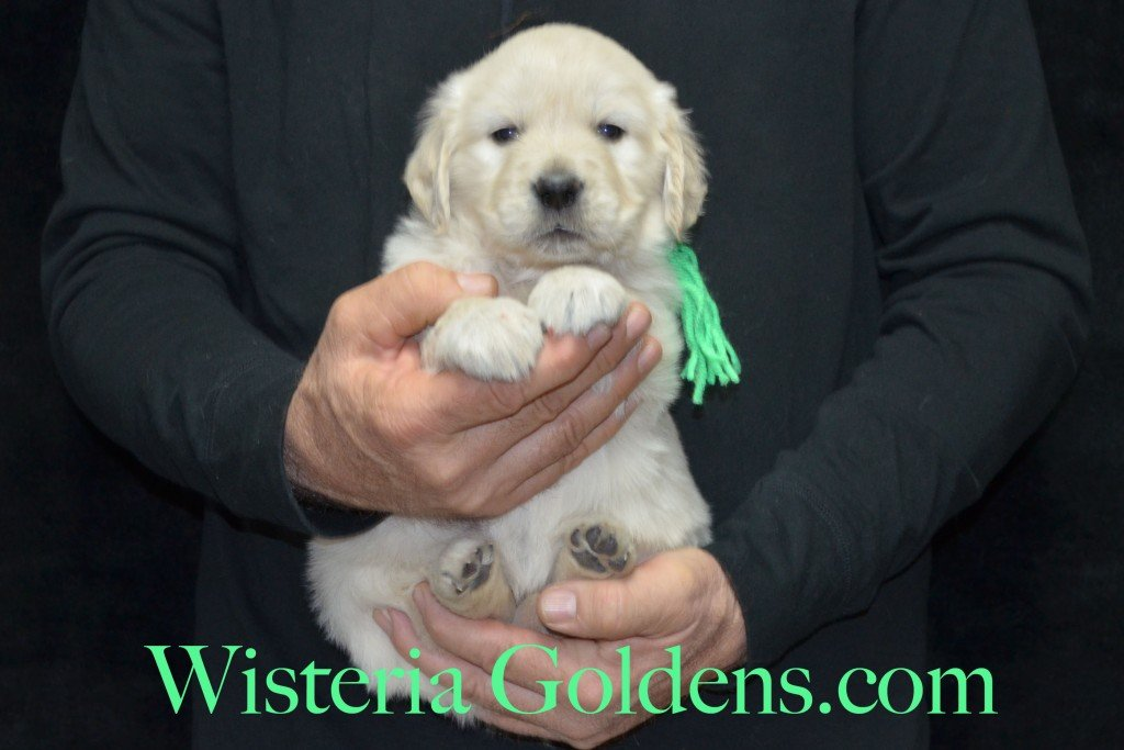 Lime Girl - 6.0 lbs 5 weeks pictures Aria and Ego Litter Born 01/25/2015 4 girls and 4 boys.  English Cream golden Retriever puppies for sale