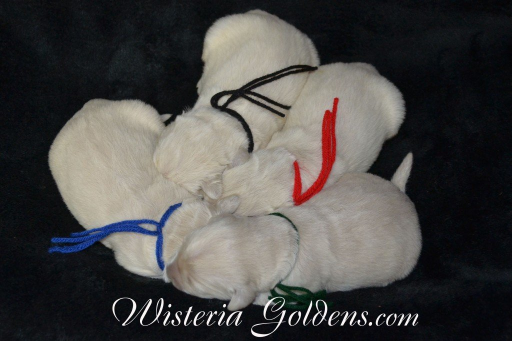 Aria Litter born 1-25-2015 English Cream Golden Retriever puppies for sale